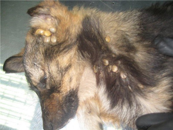 Собаку атаковали клещи