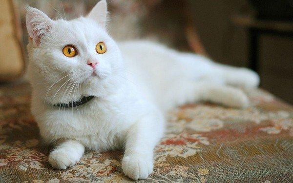Белая кошка в ошейнике от клещей