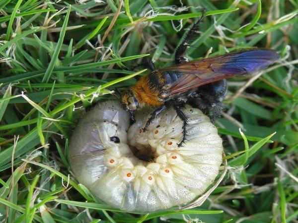 Сколия парализует личинку жука
