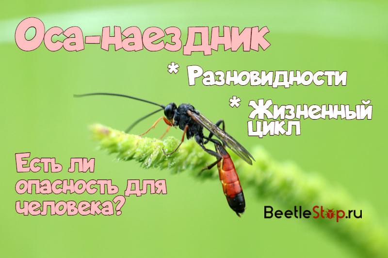 оса-наездник