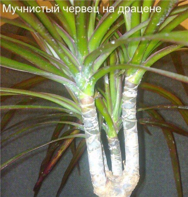 Вредитель на домашнем растении
