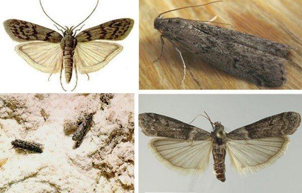 Вредоносная бабочка