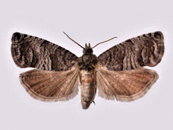 Бабочка-гурман
