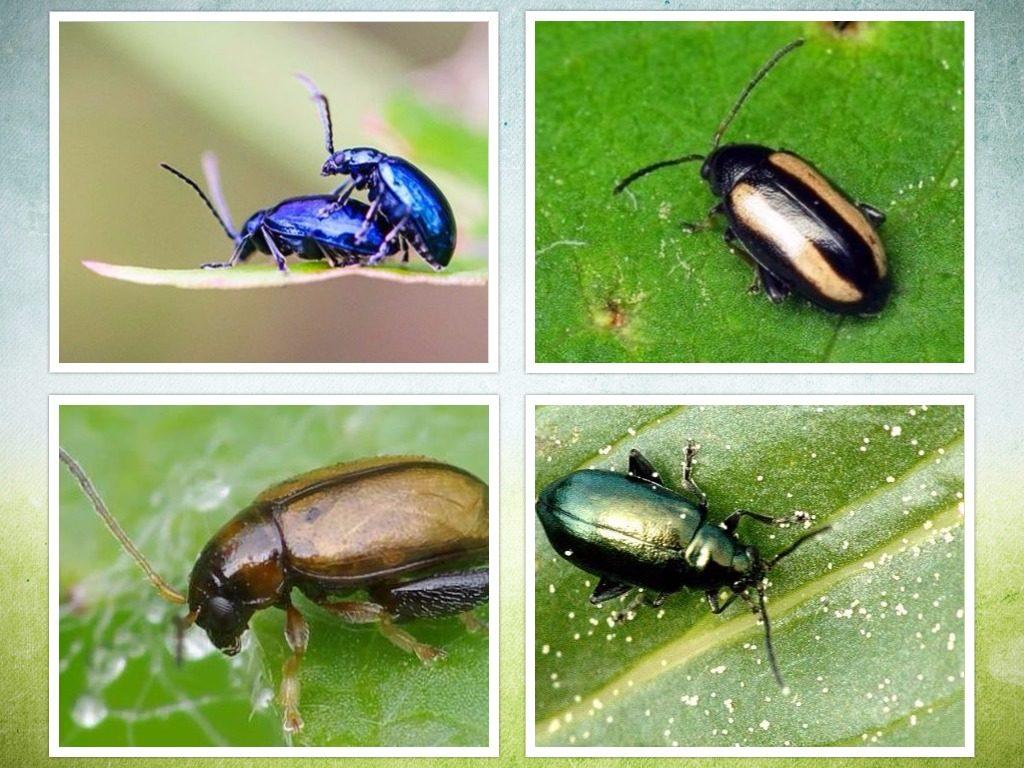 Разновидности насекомого