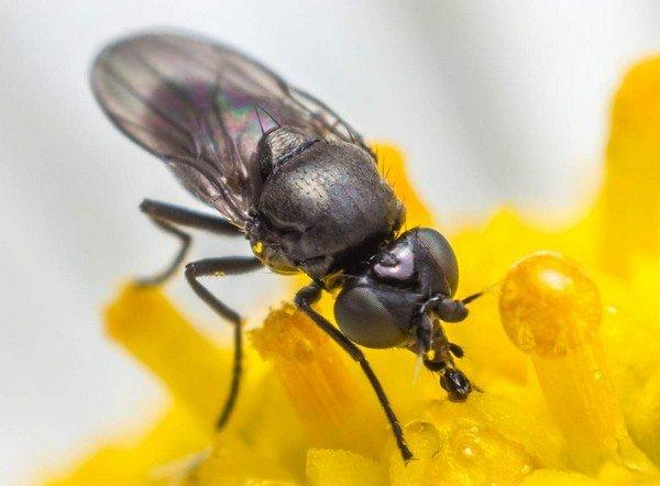 Овсяная муха