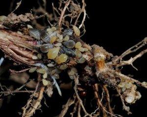 Вредители корней