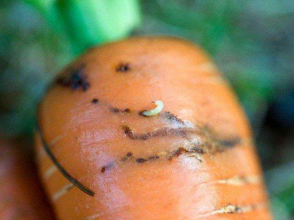 Личинка на моркови