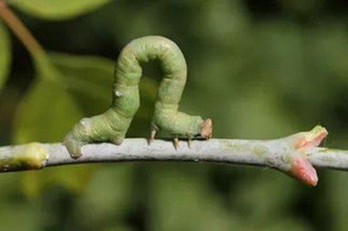 Гусеница ползет по ветке