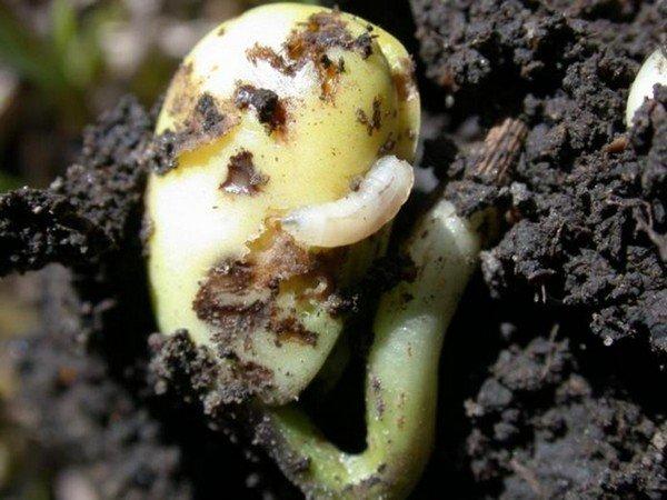 Семя огурца