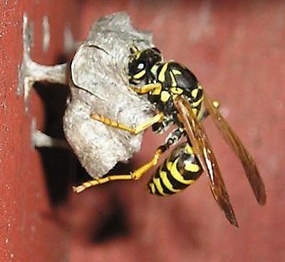 Как осы строят гнездо