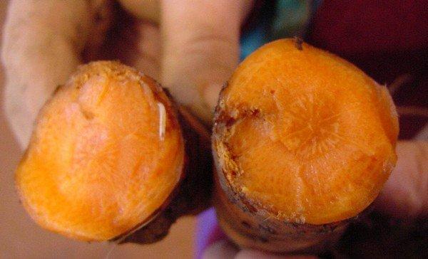 Поврежденный корнеплод