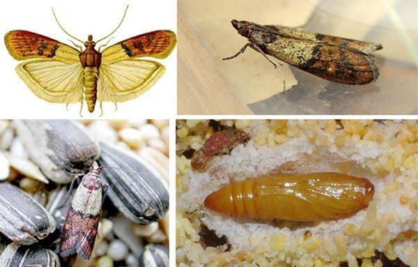 Другое название бабочки - индийская моль
