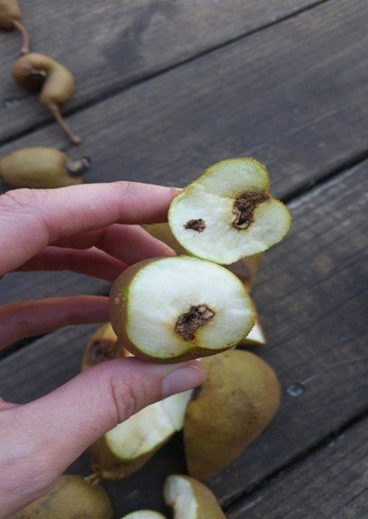 Зараженная груша
