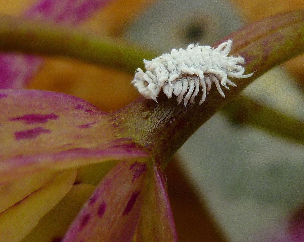 Вредитель на орхидее