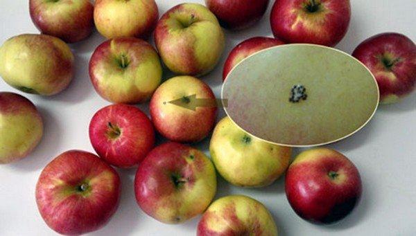 Паразиты на яблоках