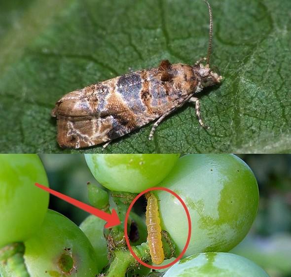 Гроза виноградников