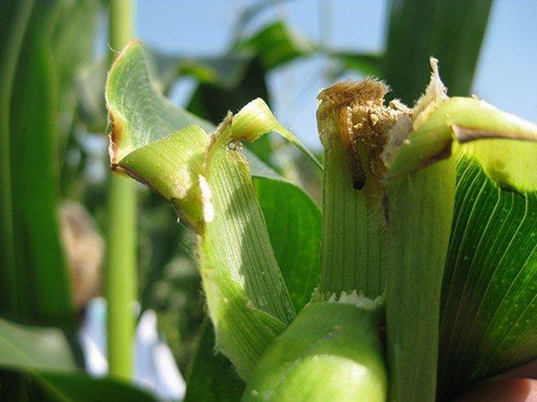Поврежденное растение