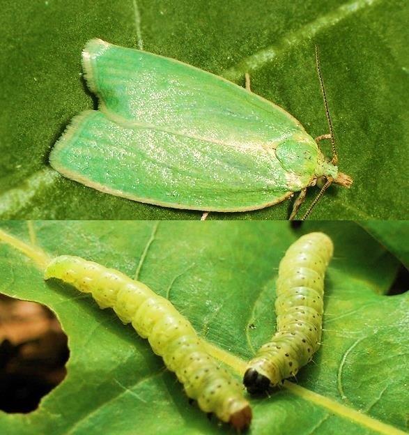 Листогрызущая бабочка
