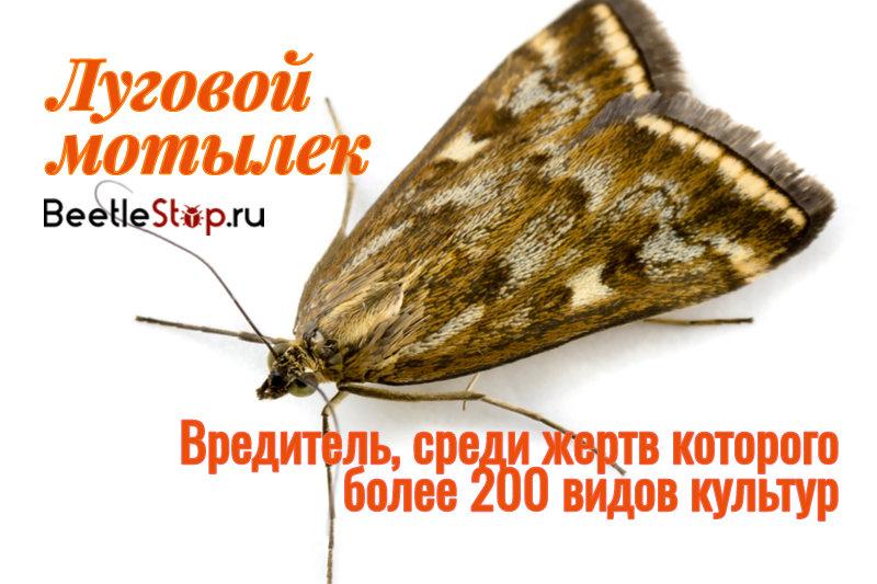 Лугового мотылька в народе часто называют мотилицей