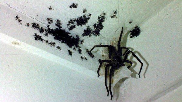 Паук и паучата
