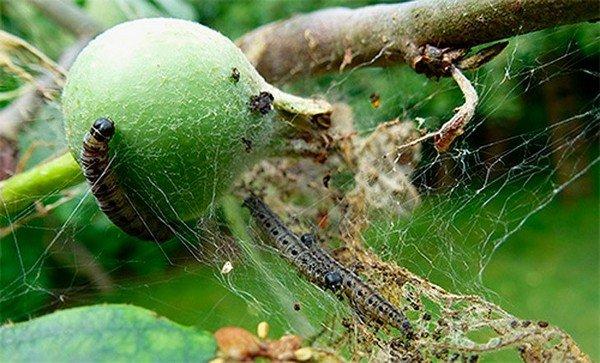Пораженное плодовое дерево