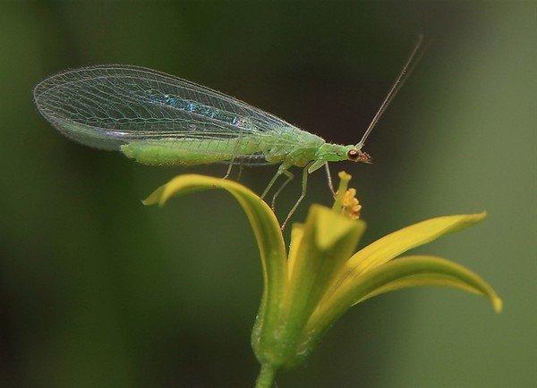 Зеленая мошка