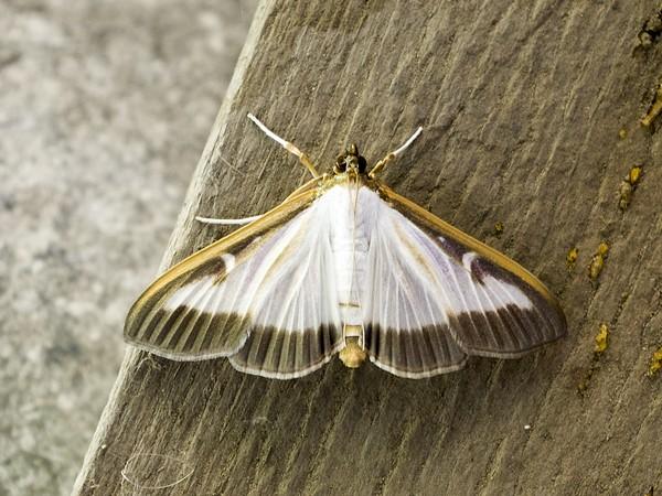 Взрослая бабочка