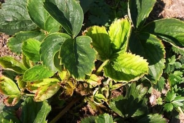 Пожелтевшие листья растения