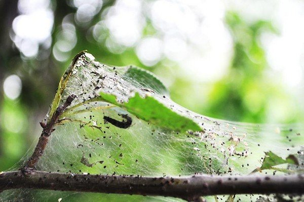Гусеница в своей сети