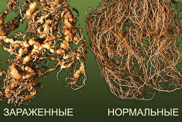 Поврежденные паразитом и здоровые корни