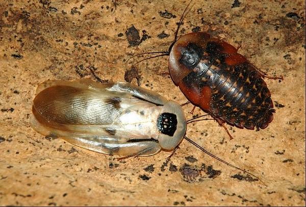 Отличие взрослого блаберуса от личинки