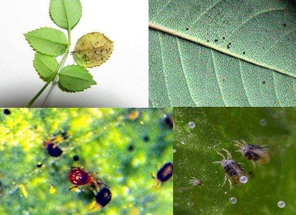 Размещение паразитов на листьях
