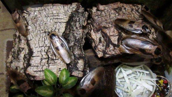 Блаберусы в домашнем инсектарии