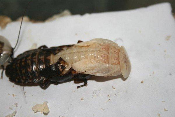Повзрослевшие тараканы линяют