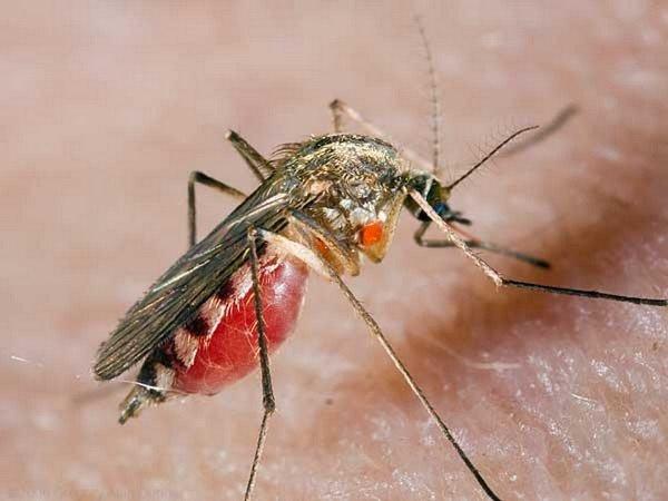 Напитавшийся комар