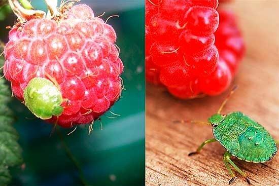 Зеленый клоп на малине
