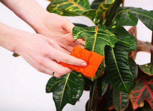Нанесение средства на листья