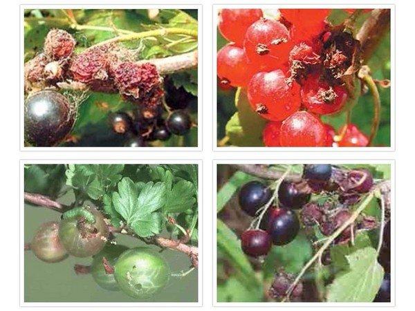 Больные ягоды