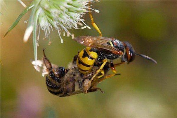 Пчелиный волк и его жертва