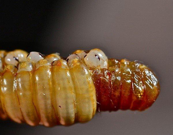 Личинки мексиканского таракана