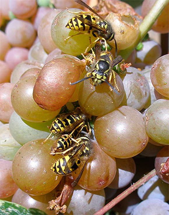Осы на виноградинах