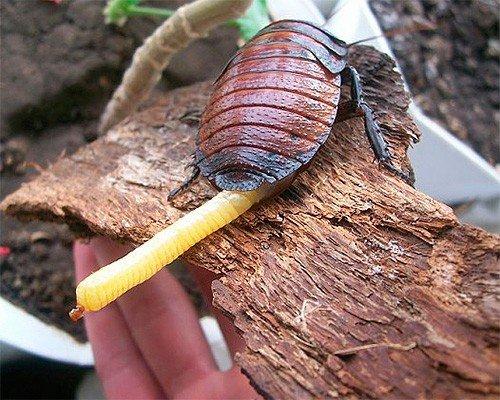 Самые большие тараканы в мире - фото и описание