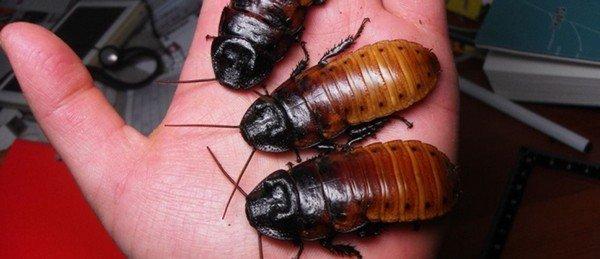 Эти тараканы совершенно безобидны