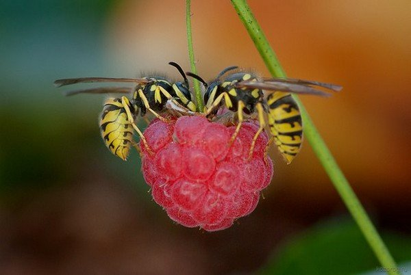 Осы любят малину