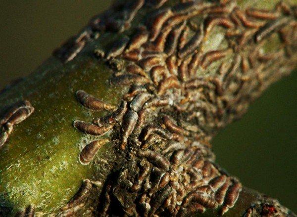 Вредители, паразитирующие на 30 видах растений
