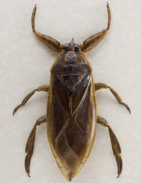 Гигантское насекомое