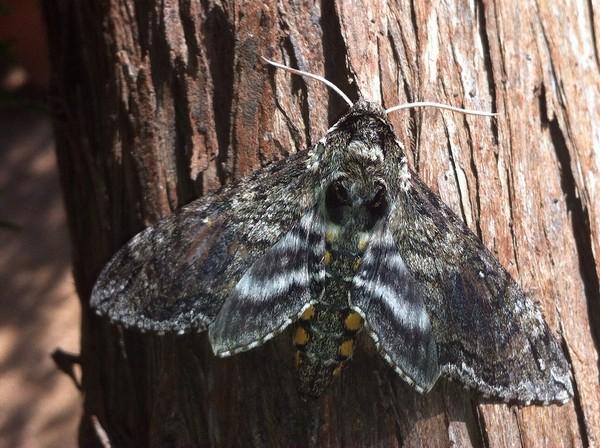 Серая бабочка