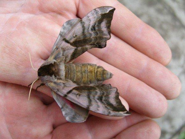 Необычная бабочка