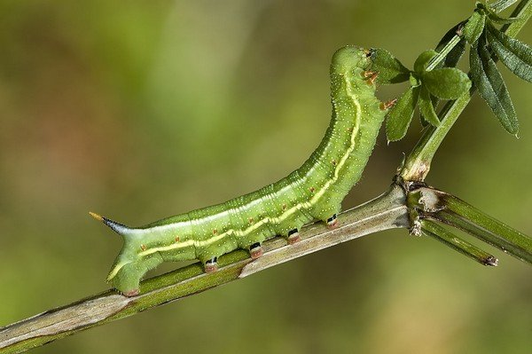 Личинка бражника