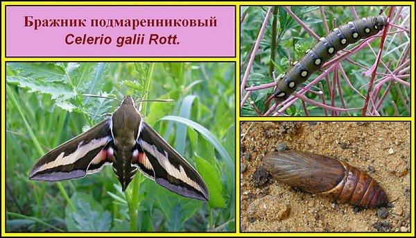 Цикл развития бабочки